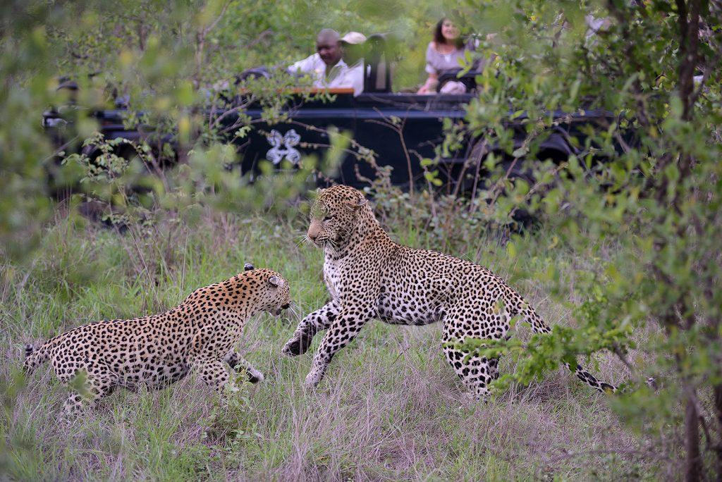Leopards-of-Londolozi