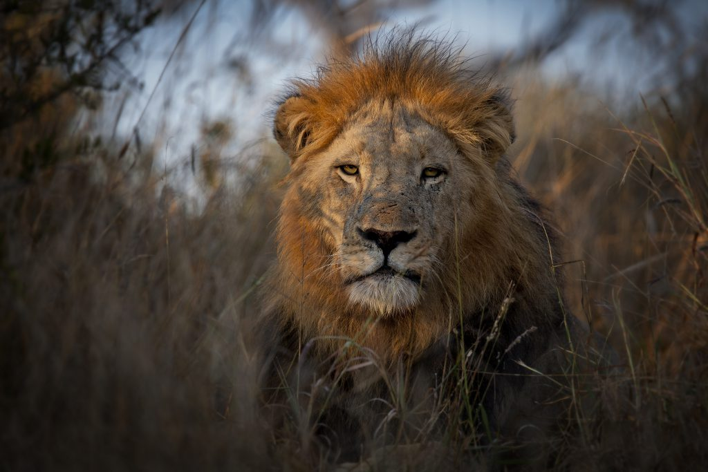 Lion Tracking with Boyd Varty