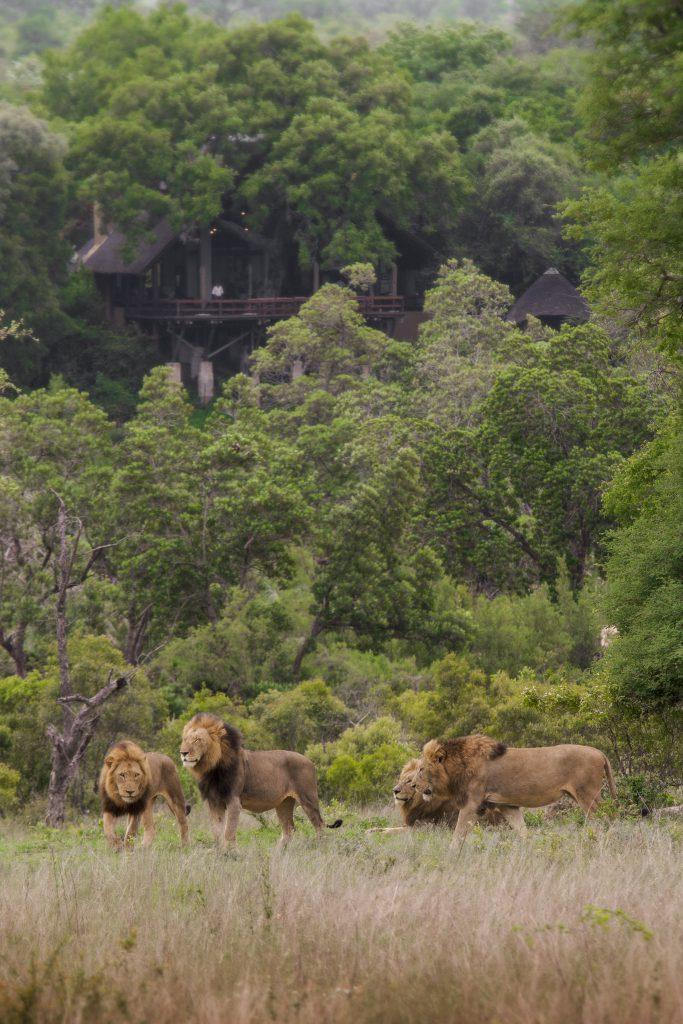 Londolozi Varty Camp Male Lions